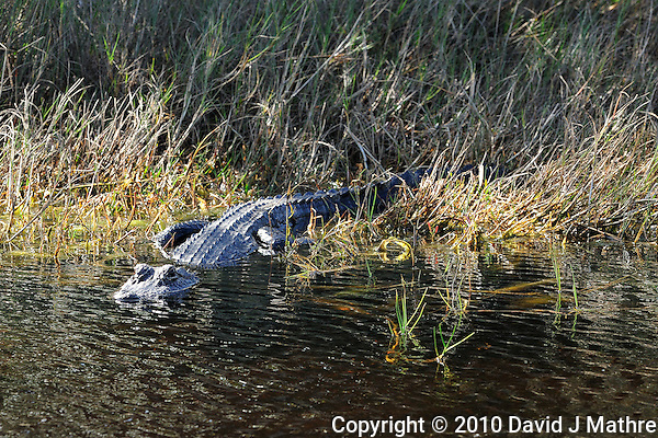 Alligator Sunning at Merritt Island National Wildlife Reserve. Image taken with an Nikon D3x and 300  mm  f/2.8 VR lens (ISO 220, 300 mm, f/8, 1/250 sec). (David J Mathre)