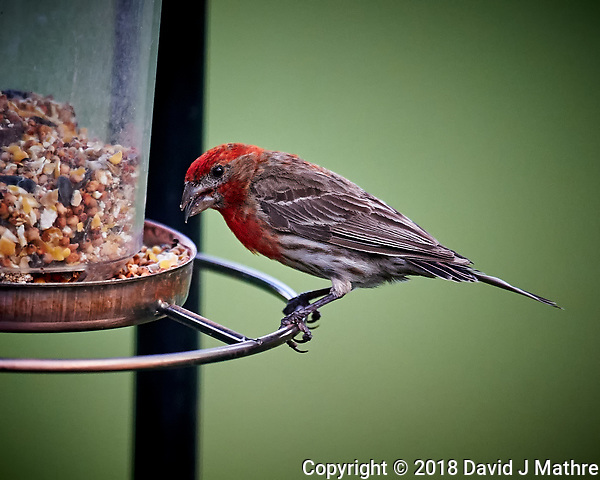 Male House Finch with a Sunflower Seed. Image taken with a Nikon D4 camera and 600 mm f/4 VR telephoto lens. (DAVID J MATHRE)