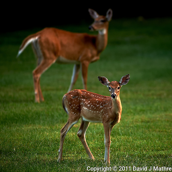Fawn and Doe.  Summer Backyard Nature in New Jersey. Image taken with a Nikon D3s and 300 mm f/2.8 VR lens (ISO 400, 300 mm, f/2.8, 1/500 sec). (David J Mathre)