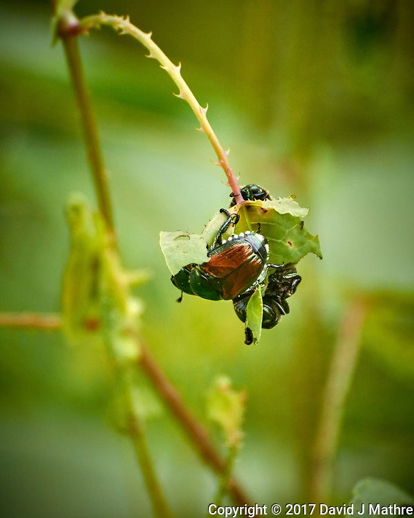 "Japanese Beetles eating the hated ""Mile-a-Minute"" vine in my backyard wildflower meadow. Summer nature in New Jersey. Image taken with a Nikon 1 V3 camera and 70-300 mm VR telephoto zoom lens (ISO 400, 300 mm, f/5.6, 1/500 sec) (David J Mathre)"