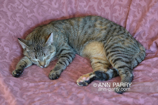 Cleo the tabby cat at home on Sept. 1, 2015, after being adopted from Last Hope Animal Rescue and Rehabilitation, Wantagh, New York, USA (Ann Parry/Ann Parry, ann-parry.com)