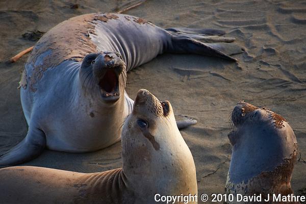 Elephant Seals at Piedras Blancas Beach, Central California Coast. Image taken with a Nikon D3x and 70-300 mm VR lens (ISO 400, 210 mm, f/8, 1/250 sec). (David J Mathre)