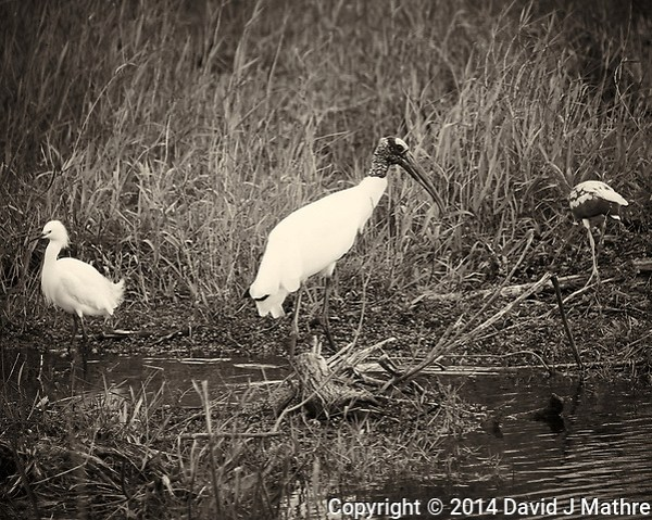 Snowy Egret, Wood Stork, and Immature White Ibis at Big Cypress National Preserve in Florida. Image taken with a Nikon D700 and 28-300 mm VR lens (ISO 200, 300 mm, f/6.3, 1/320 sec). Image converted to B&W with Capture One Pro 7. (David J Mathre)