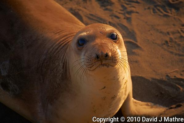Elephant Seal at Piedras Blancas Beach, Central California Coast. Image taken with a Nikon D3x and 70-300 mm VR lens (ISO 400, 300 mm, f/8, 1/160 sec). (David J Mathre)