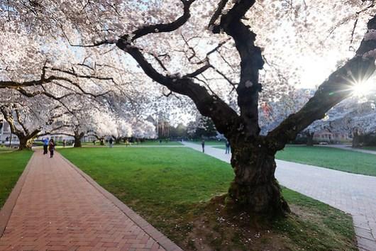 Blooming Yoshino cherry trees, Liberal Arts Quad, University of Washington, Seattle, Washington, USA (Copyright Brad Mitchell Photography.9601 Wall St.Snohomish, WA 98296.USA.425-418-7279.brad@bradmitchellphoto.com)