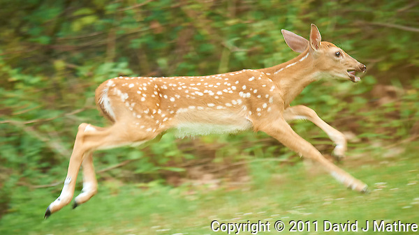 Blue Eyed Fawn Running. Backyard Nature in New Jersey. Image taken with a Nikon D3x and 600 mm f/4 lens (ISO 400, 600 mm, f/4, 1/250 sec). Image processed with Capture One 6 Pro, Nik Define 2, and Photoshop CS5. (David J Mathre)