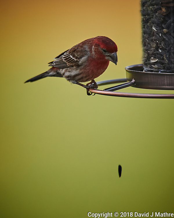 House Finch Eating Sunflower Seeds. Image taken with a Nikon D4 camera and 600 mm f/4 VR lens (David J Mathre)