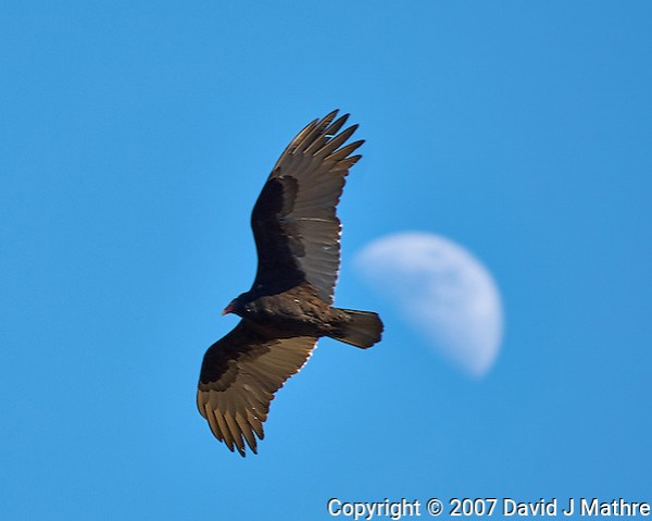 Turkey Vulture soaring past the first quarter moon. Backyard winter nature in New Jersey. Image taken with a Nikon D2xs camera and 80-400 mm VR lens (ISO 100, 400 mm, f/5.6, 1/200 sec). (David J Mathre)