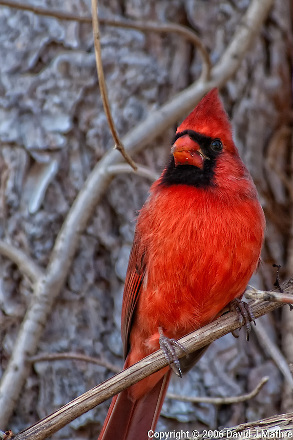 Male Cardinal in New Jersey (David J Mathre)