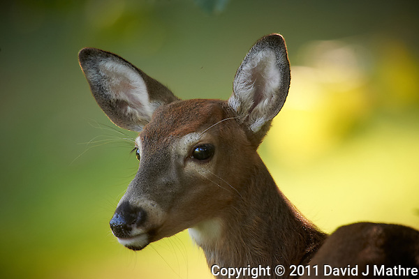 Doe Portrait Session.  Autumn Backyard Nature in New Jersey. Image taken with a Nikon D3s and 600 mm f/4 VR lens + TC-E III 20 teleconverer (ISO 1000, 1200 mm, f/8, 1/160 sec). (David J Mathre)