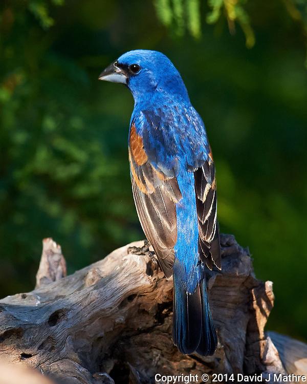 Blue Grossbeak in Southern Texas. Image taken with a Nikon D3x camera and 600 mm f/4 VR lens (ISO 800, 600 mm, f/5.6, 1/2000 sec) (David J Mathre)