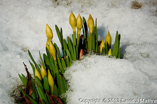 Daffodils in Snow Waiting for Spring. Image taken with a Nikon 1 V2 camera, FT1 adapter, and 28-300 VR lens (ISO 160, 112 mm, f/8, 1/500 sec) (David J Mathre)