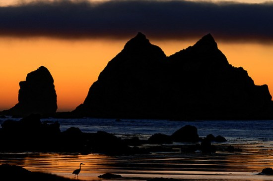 Great blue heron (Ardea herodias) wading along shoreline below Giants Graveyard sea stack on Washington Coast at sunset, near Strawberry Point, South Coast Trail, Olympic National Park, Washington, USA (Brad Mitchell Photography)