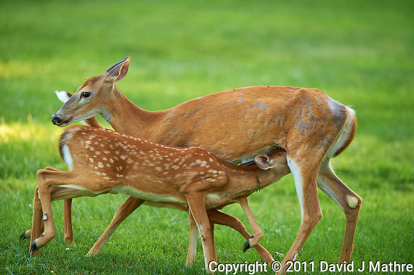 Milking Time Twin Fawns and Doe. Summer Backyard Nature in New Jersey. Image taken with a Nikon D3s camera and 400 mm f/2.8G II lens (ISO 500, 400 mm, f/2.8, 1/400 sec). (David J Mathre)