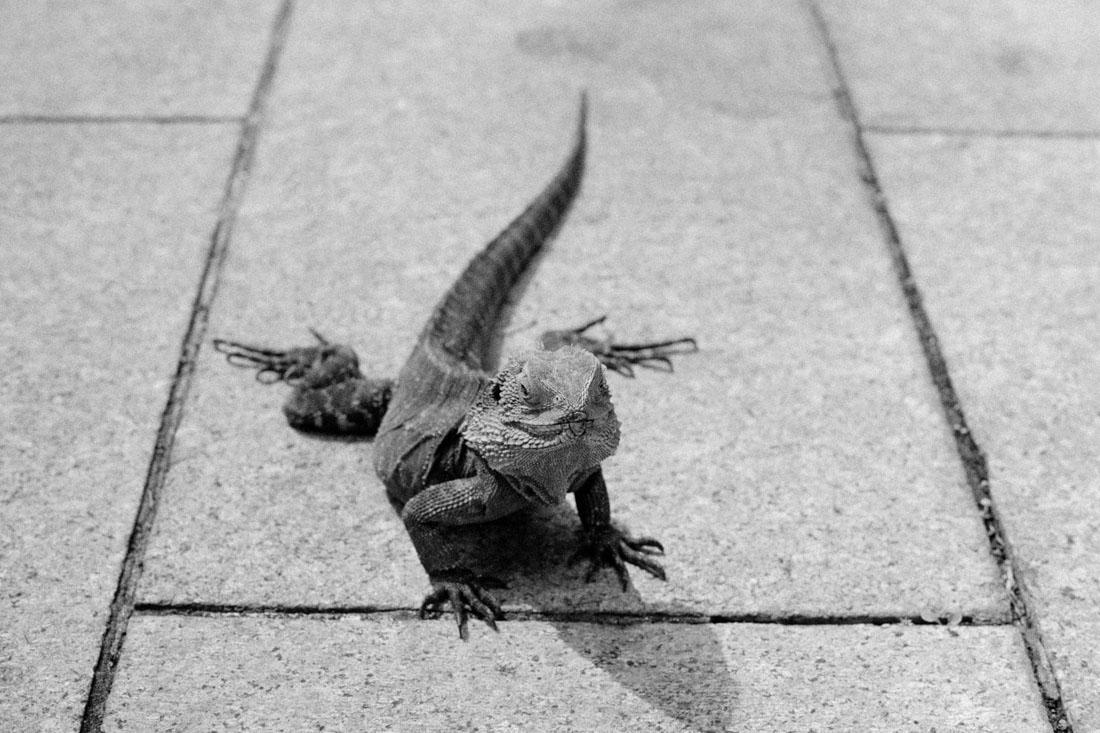 Lizard | Pentax Spotmatic SP | Pentax Super-Takumar 50mm f/1.4 | Ilford HP5 Plus
