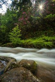 Rhododendron in Geroldsau © Raik Krotofil