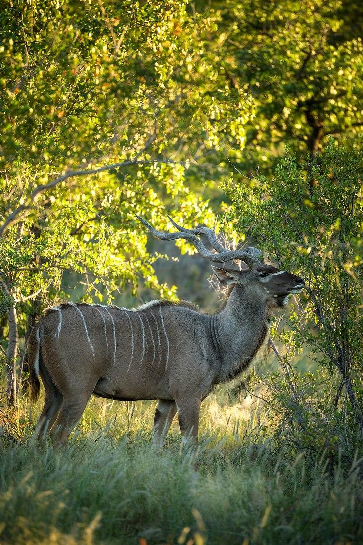 Kudu im Etosha © Raik Krotofil