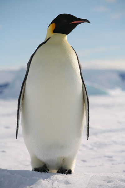 Image result for emperor penguin photos