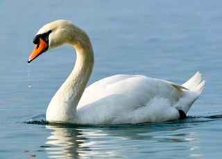Swan song  the meaning and origin of this phrase