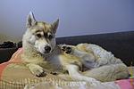 хаски, хаска, хаски фото, хаска фото, хаски собака, хаска собака, сибирский хаски, хаска сибирская, порода хаски, порода хаска