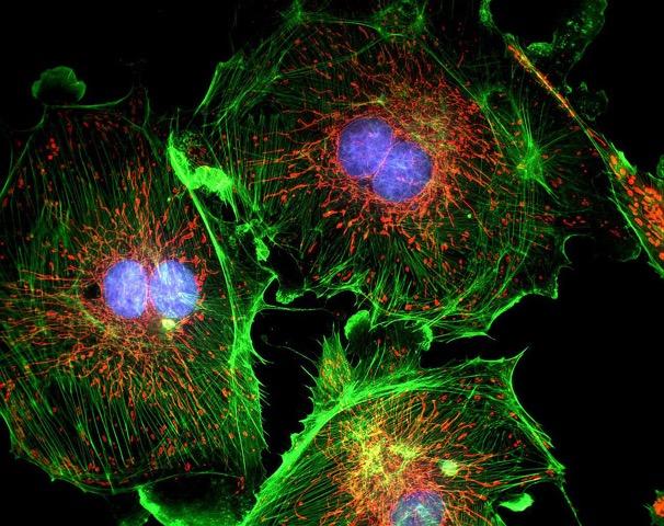 marqueurs fluorescents sur cellule