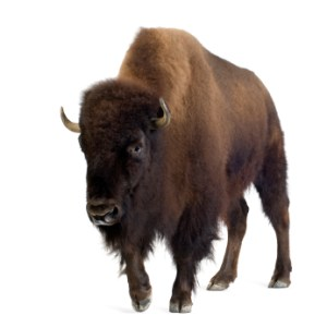 Buffalo hump and moon faces are key words for Cushing's syndrome