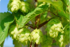 hop vlowers on bine