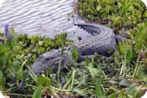 wild alligator