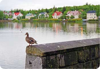 Reykjavik Duck