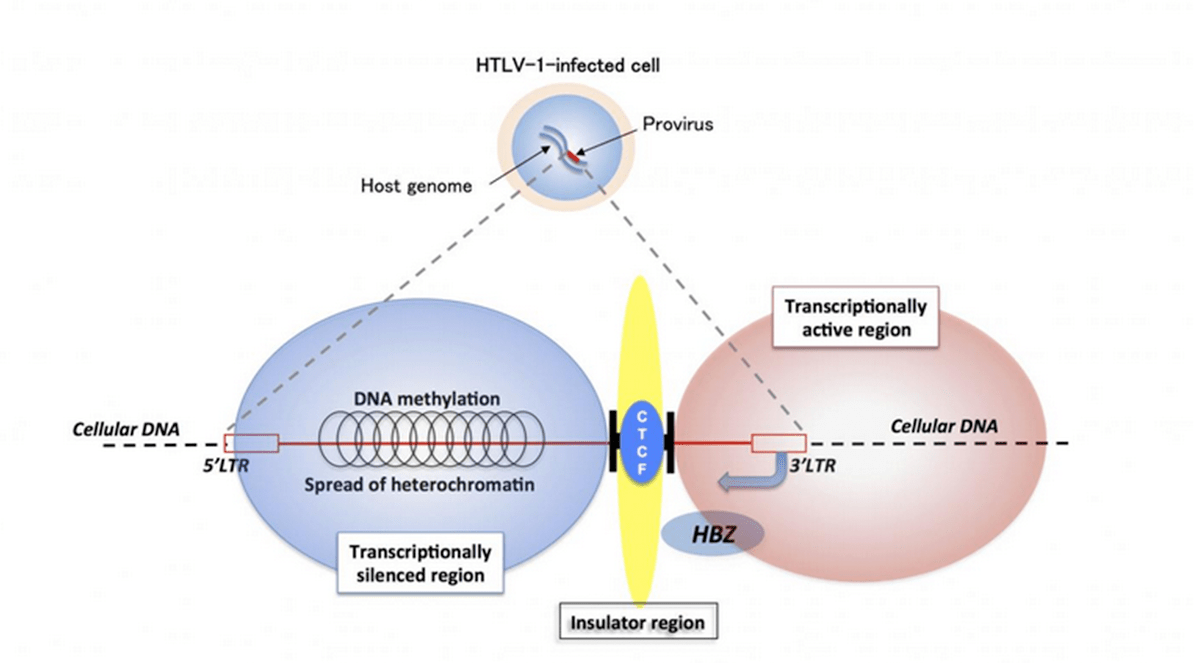hight resolution of mechanisms of persistent infection for the human t cell leukemia virus