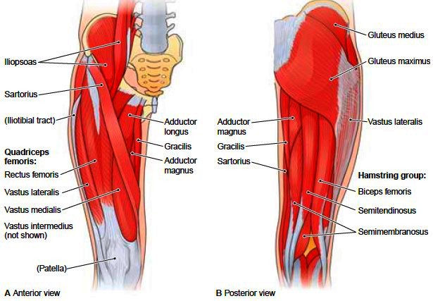 medial lower leg muscles diagram heater thermostat wiring femoral fractures - physiopedia, universal access to physiotherapy knowledge.