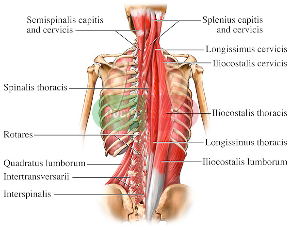 typical thoracic vertebrae diagram fog light wiring without relay semispinalis cervicis - physiopedia
