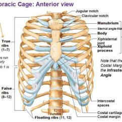 Cat Neck Muscles Diagram Wiring Start Stop Motor Control Slipping Rib Syndrome - Physiopedia