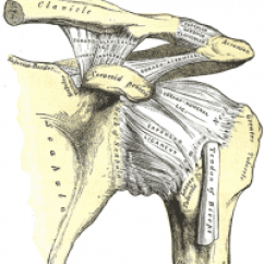 Clavicle And Scapula Diagram 91 S10 Radio Wiring Anterior Shoulder Instability - Physiopedia