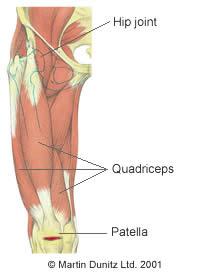 Anatomy of upper leg