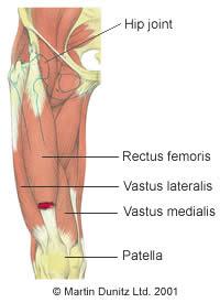 Anatomy of thigh strain
