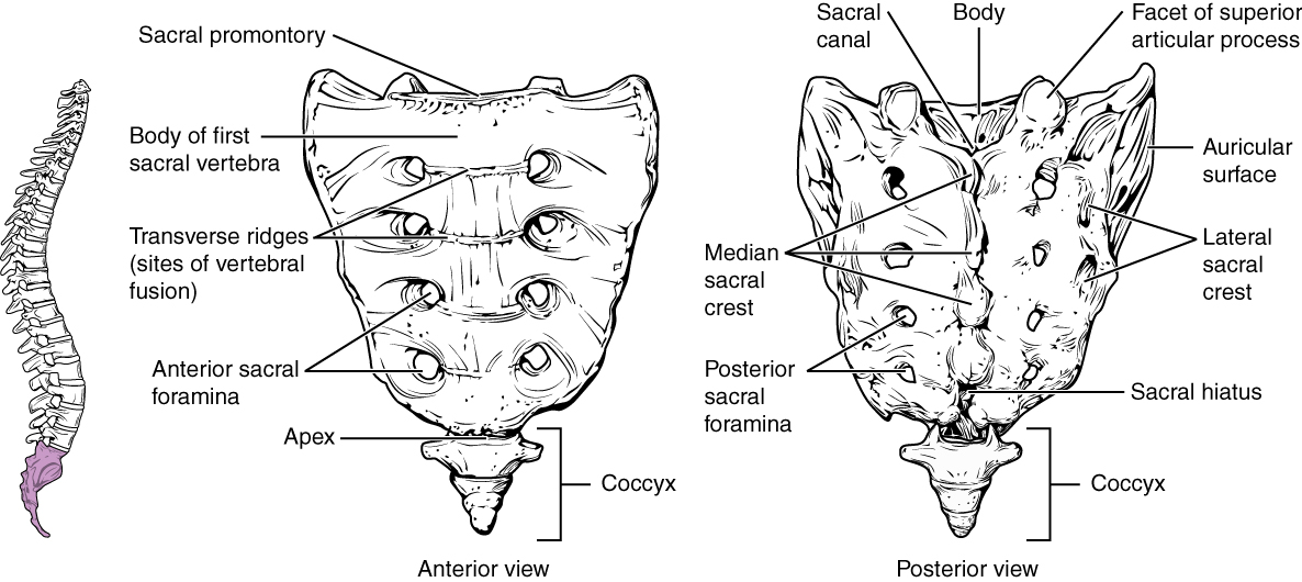Coccydynia: An Overview of the Anatomy, Etiology, and