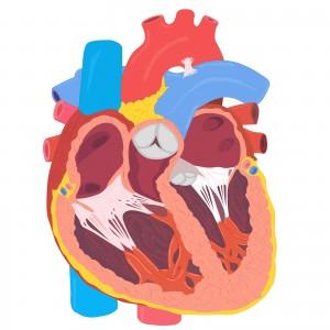 Heart Anatomy vector illustration for medical works