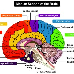 Human Brain Diagram Sagittal Off Grid Magnum Solar System Wiring Cerebellum And Cognition In Multiple Sclerosis The Fall