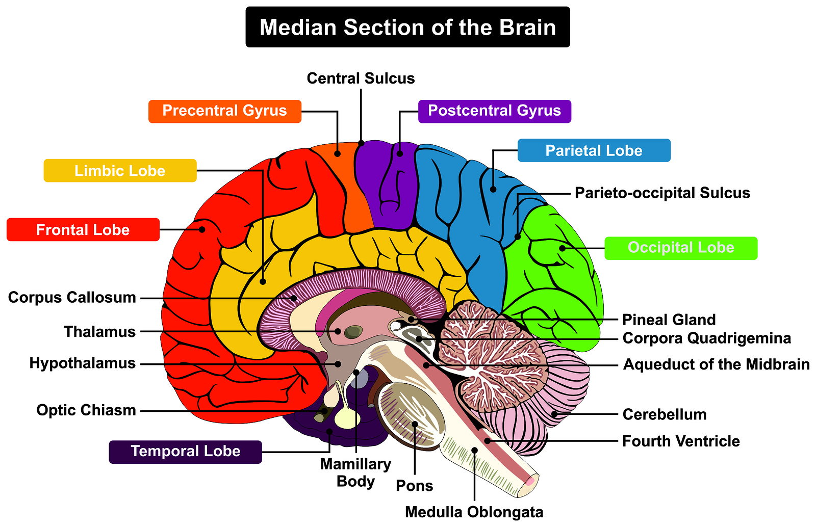 brain diagram sagittal view harp seal life cycle cerebellum and cognition in multiple sclerosis the fall