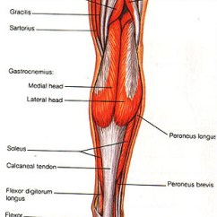 Medial Lower Leg Muscles Diagram Functional Microscopic Anatomy Of The Kidney And Bladder Human Body Psoas Major
