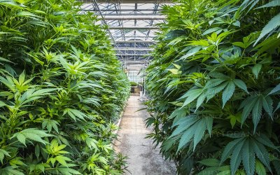 Le plus gros producteur de CBD Cannabis Légal en Europe