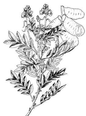 CASSIA, SENNA, GOLDEN RAIN TREE, COFFEE SENNA, CANDLE BUSH