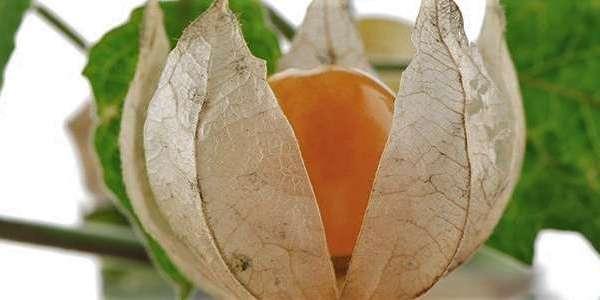 L'ashawaganda ou ginseng indien est aussi reconnu pour être un aphrodisiaque performant