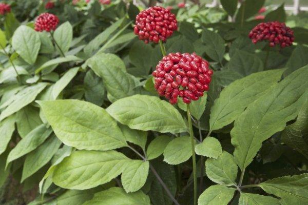 Le ginseng panax est aussi reconnu comme un aphrodisiaque très performant