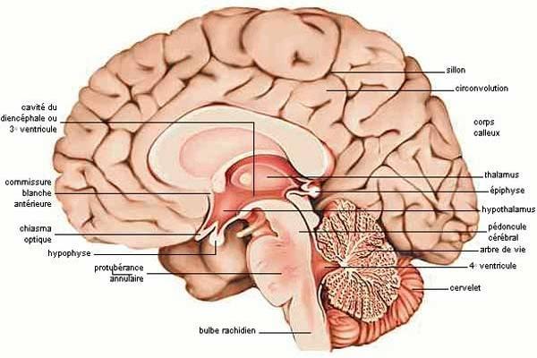 Le cerveau, ses parties et leurs différentes fonctions.