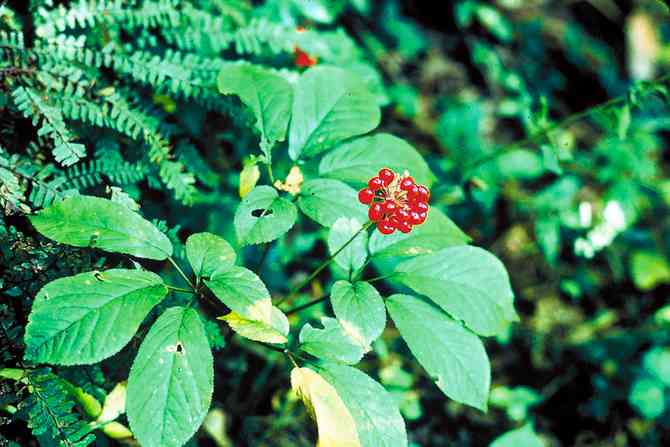 Ginseng 5 étoiles/ d'Amérique/quinquefolius – Monographie Santé Canada