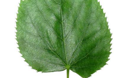Wie viele Blätter sind auf einem Baum?