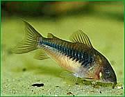 Çöpçü Balığı