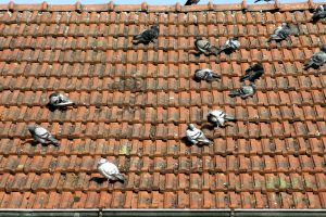 -_Roof_with_pigeons_-